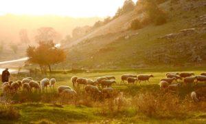 nomad_sheep